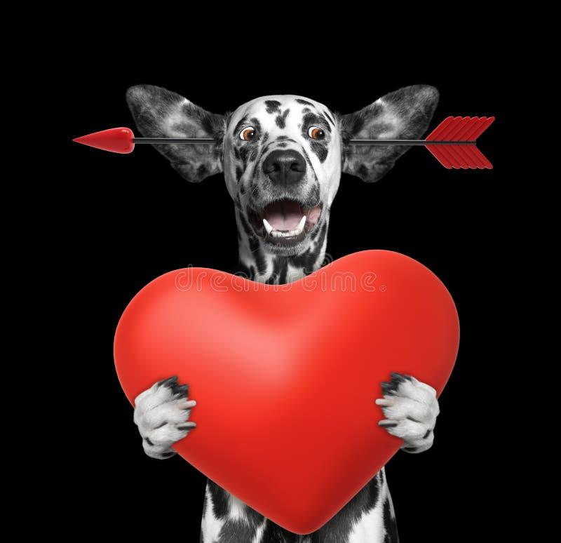 O cão dalmatian bonito está caindo no amor no dia de Valentim Isolado no preto fotos de stock royalty free