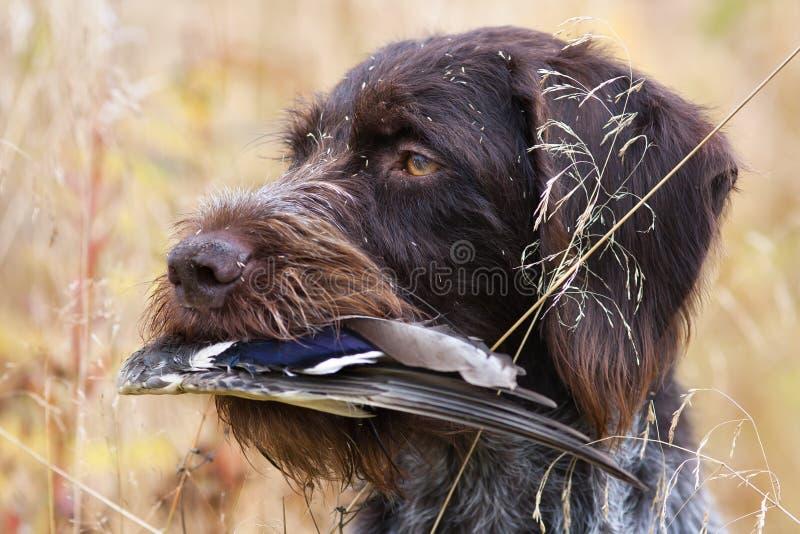 O cão de caça mantém a asa do pato na grama alta imagem de stock