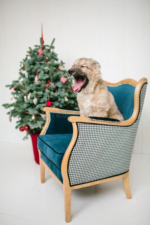 O cão de cachorrinho bonito próximo decorou a árvore de Natal no estúdio foto de stock