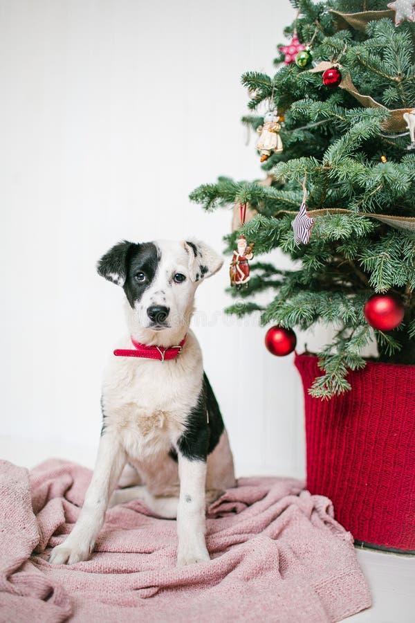 O cão de cachorrinho bonito próximo decorou a árvore de Natal no estúdio foto de stock royalty free