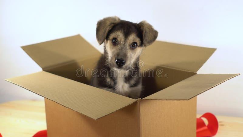 O cão de cachorrinho bonito senta-se em uma caixa de cartão com fita vermelha imagem de stock