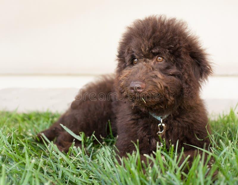 O cão de cachorrinho do labradoodle do chocolate coloca na grama foto de stock royalty free
