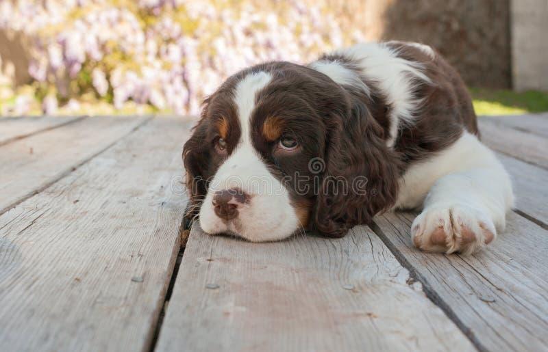 O cão de cachorrinho do spaniel de Springer estabelece na plataforma de madeira fotografia de stock