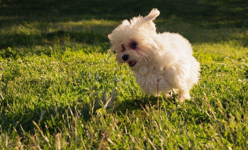 O cão de cachorrinho maltês feliz corre na grama imagem de stock