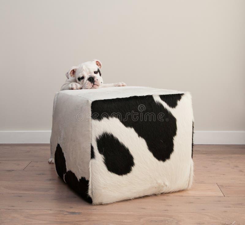 O cão de cachorrinho preto e branco do buldogue espreita sobre a borda do bloco foto de stock
