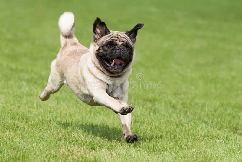 O cão de Carlin está correndo fotos de stock