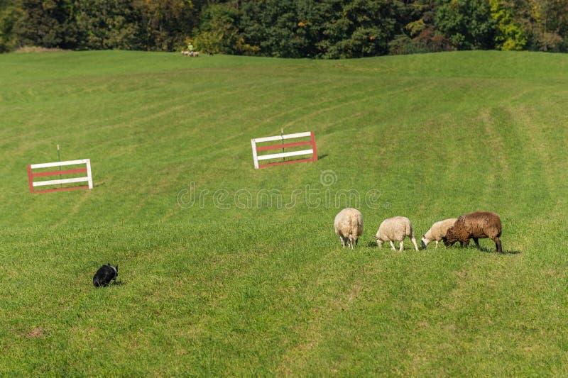 O cão de carneiros anda acima no aries do Ovis dos carneiros imagem de stock