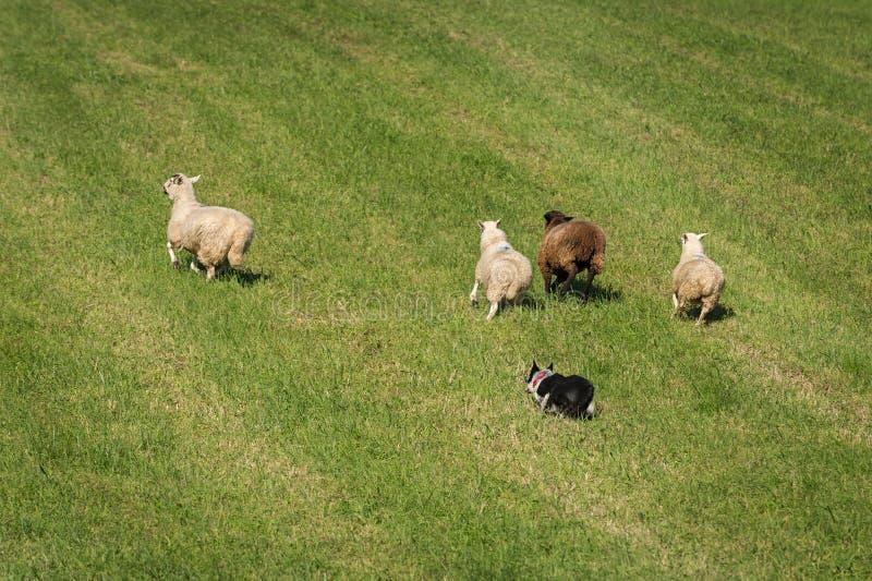 O cão de carneiros corre o grupo de aries do Ovis dos carneiros para fora no campo fotografia de stock