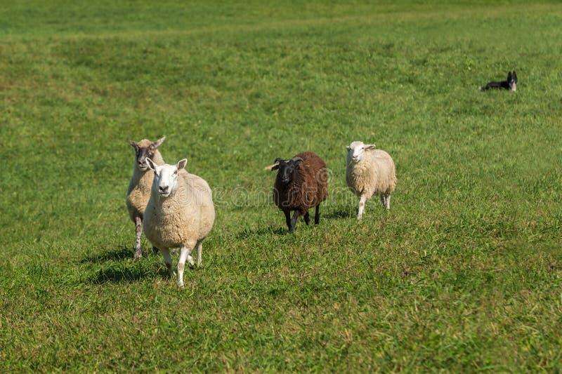 O cão de carneiros encontra-se aries para baixo de observação do Ovis dos carneiros que anda dentro foto de stock royalty free