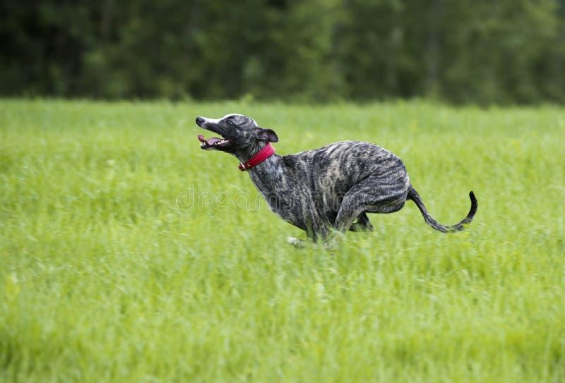 O cão de corrida está correndo fotografia de stock royalty free
