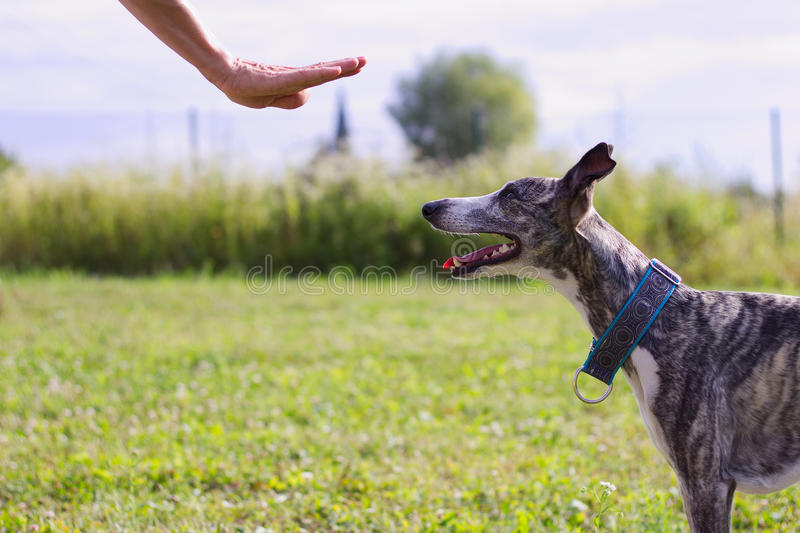 O cão de corrida treina o comando ficar fotografia de stock