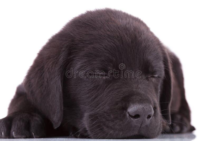 Sono do cão de filhote de cachorro de labrador retriever foto de stock royalty free