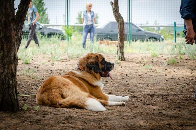 O cão de guarda de Moscou está descansando em uma plataforma de formação sob uma árvore alta que a proteja do sol quente fotos de stock