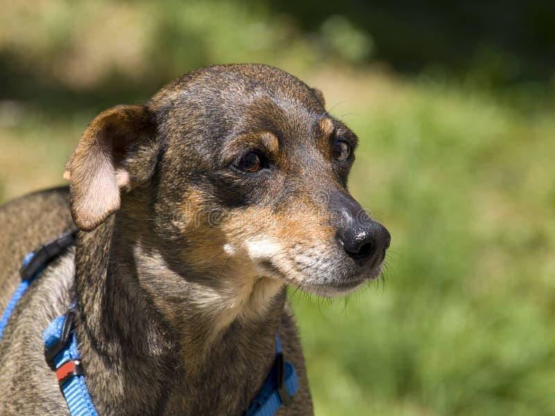 O cão de Kenya, o Canfranc fotos de stock royalty free