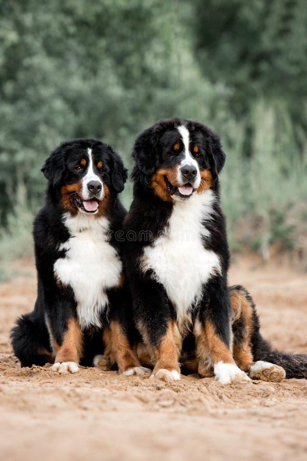 O cão de montanha de Bernese bonito do retrato dois senta-se na floresta fotos de stock