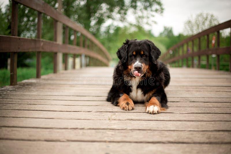 O cão de montanha de Bernese coloca na ponte Árvores verdes no fundo imagem de stock