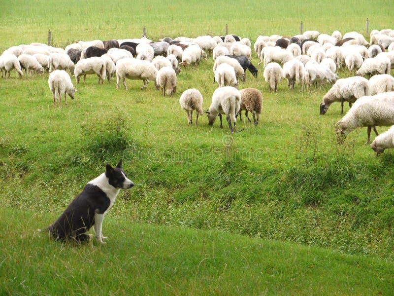 O cão de pastor e os carneiros foto de stock
