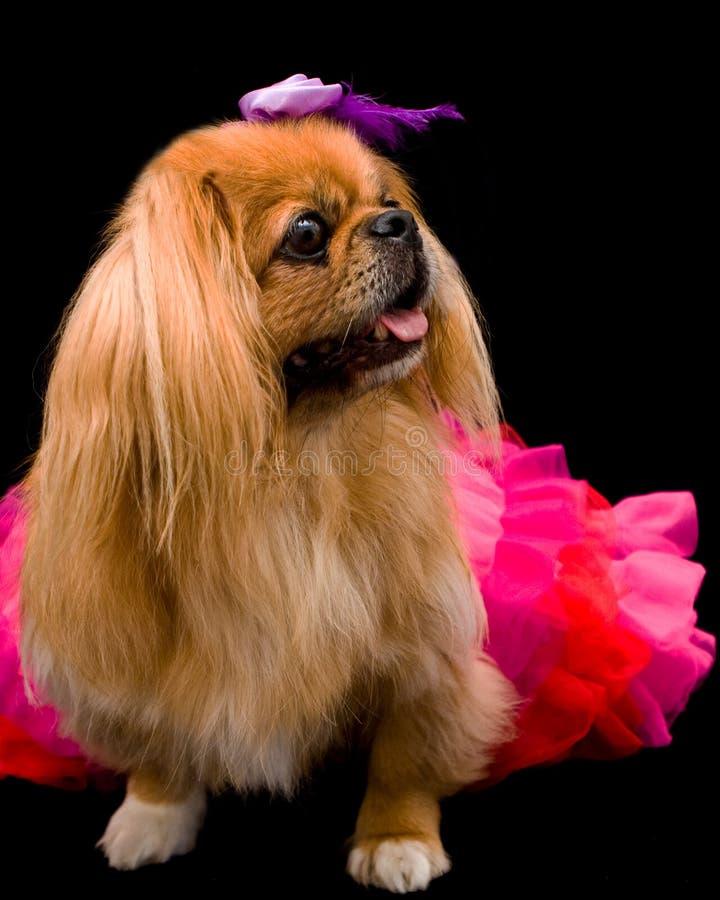 O cão de Pekingese desgasta tutu vermelho/cor-de-rosa imagem de stock