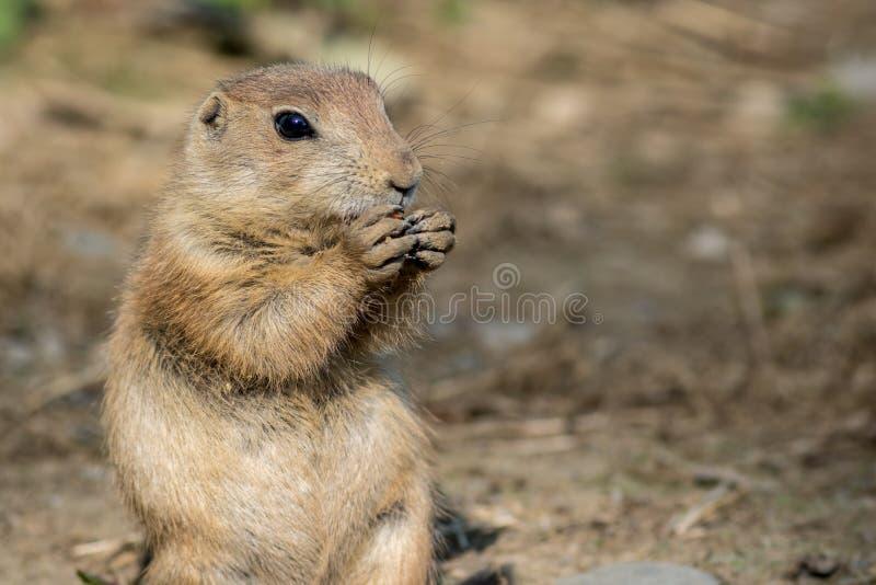 O cão de pradaria olha adorável enquanto come uma cenoura foto de stock