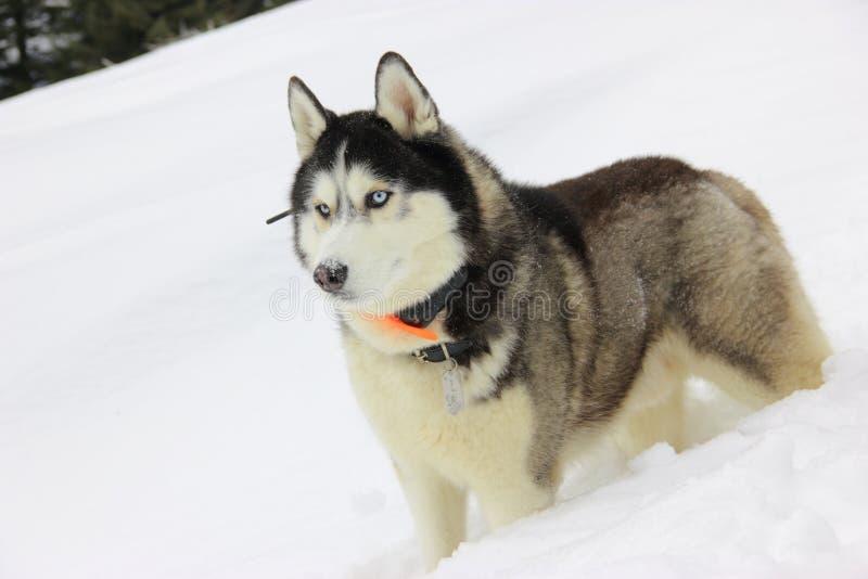 O cão de puxar trenós bonito na floresta do inverno fotos de stock