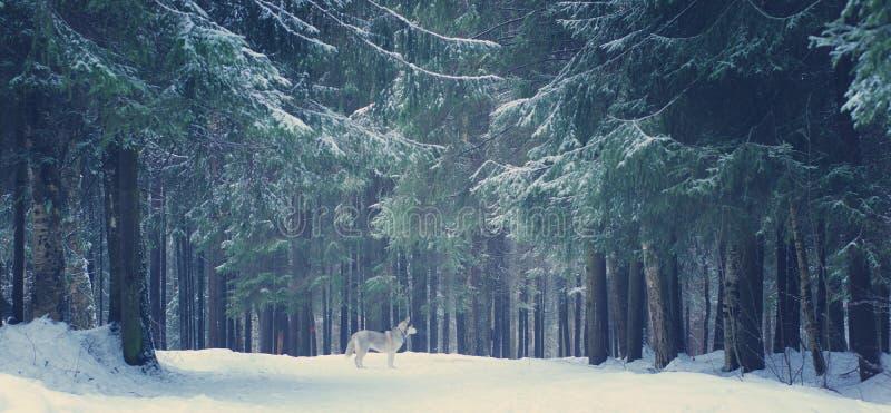 O cão de puxar trenós cinzento da raça do cão está na floresta do inverno, nas árvores de Natal e nos trajetos cobertos com a nev fotografia de stock
