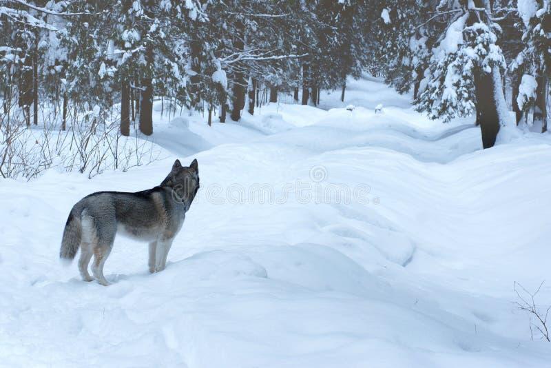 O cão de puxar trenós cinzento da raça do cão está na trilha no parque do inverno e em olhares na distância, longe do visor fotos de stock
