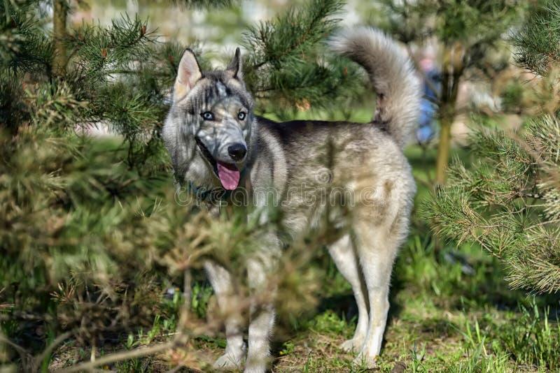O cão de puxar trenós de olhos azuis cinzento no sol ao lado do pinho ramifica fotografia de stock