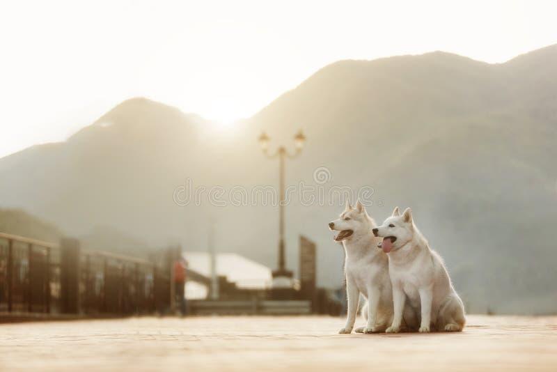 O cão de puxar trenós dois Siberian viaja cão preto e branco bonito no por do sol imagens de stock royalty free