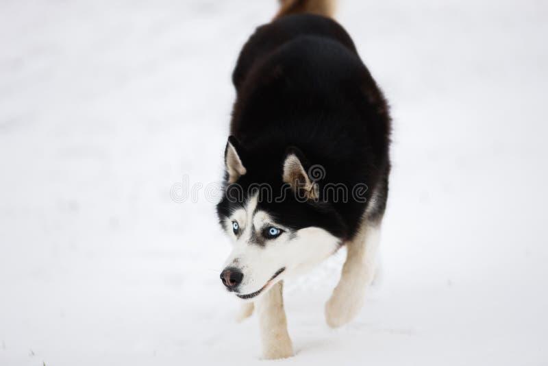 O cão de puxar trenós de olhos azuis preto e branco está na neve e olha Po imagem de stock royalty free