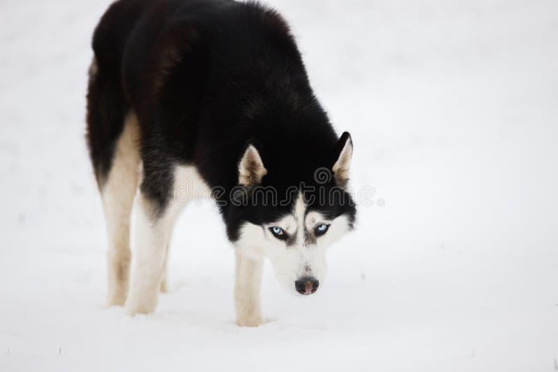 O cão de puxar trenós de olhos azuis preto e branco está na neve e olha Po foto de stock royalty free