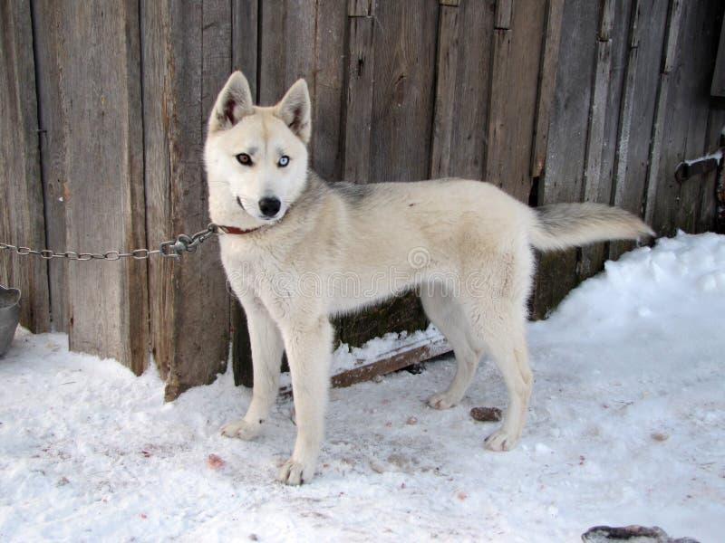 O cão de puxar trenós Siberian fotografia de stock