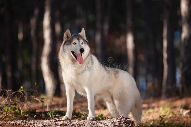 O cão de puxar trenós Siberian cinzento bonito está na floresta do outono com suas patas no tronco de uma árvore caída fotos de stock royalty free