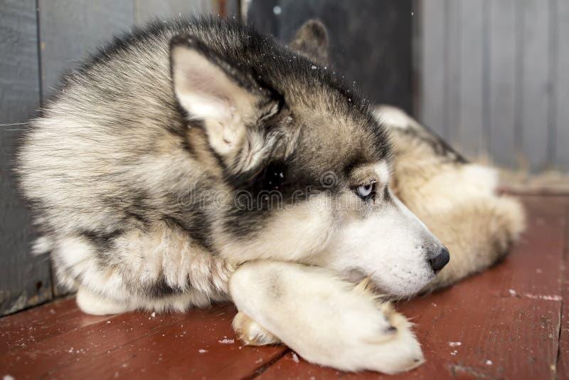 O cão de puxar trenós Siberian do cão bonito relaxou o encontro no patamar com o seu imagens de stock royalty free