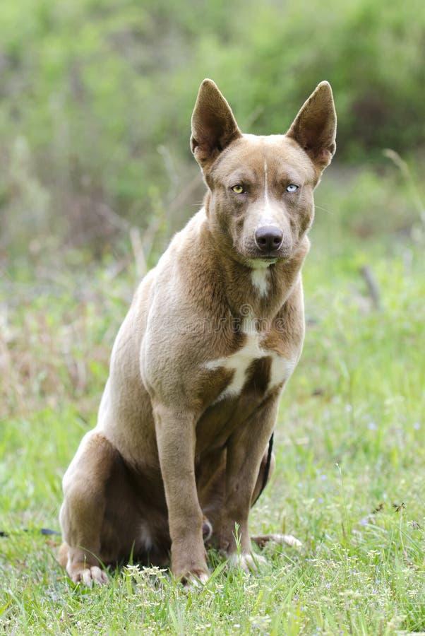 O cão de puxar trenós Siberian misturou o cão de cachorrinho da raça com o assento dos olhos azuis fotografia de stock royalty free