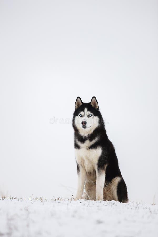 O cão de puxar trenós Siberian de olhos azuis preto e branco senta-se na neve imagem de stock royalty free