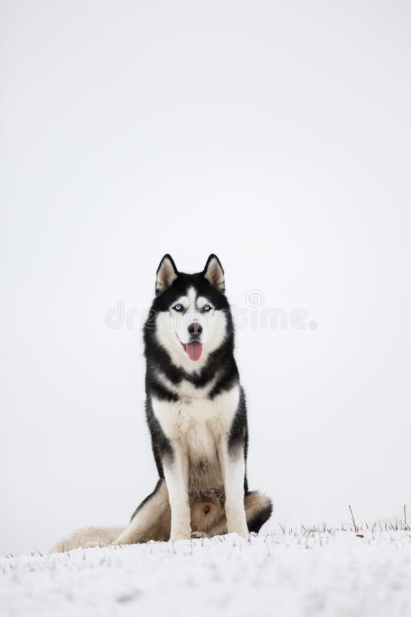 O cão de puxar trenós Siberian de olhos azuis preto e branco senta-se na neve Portra foto de stock royalty free