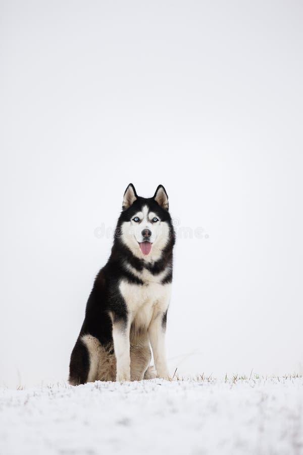 O cão de puxar trenós Siberian de olhos azuis preto e branco senta-se na neve Portra foto de stock