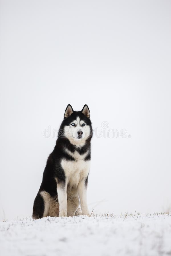 O cão de puxar trenós Siberian de olhos azuis preto e branco senta-se na neve Portra fotografia de stock