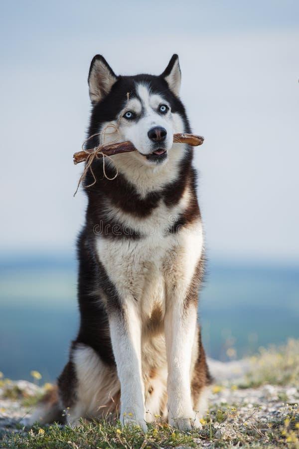 O cão de puxar trenós Siberian preto e branco que senta-se em uma montanha no fundo do lago e da floresta e come deleites imagem de stock