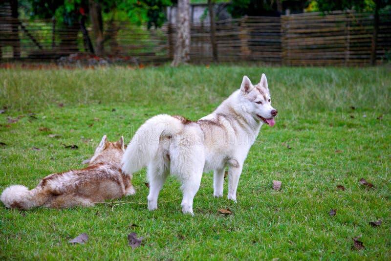 O cão de puxar trenós siberian vermelho-e-branco fêmea está estando graciously no parque fotos de stock royalty free