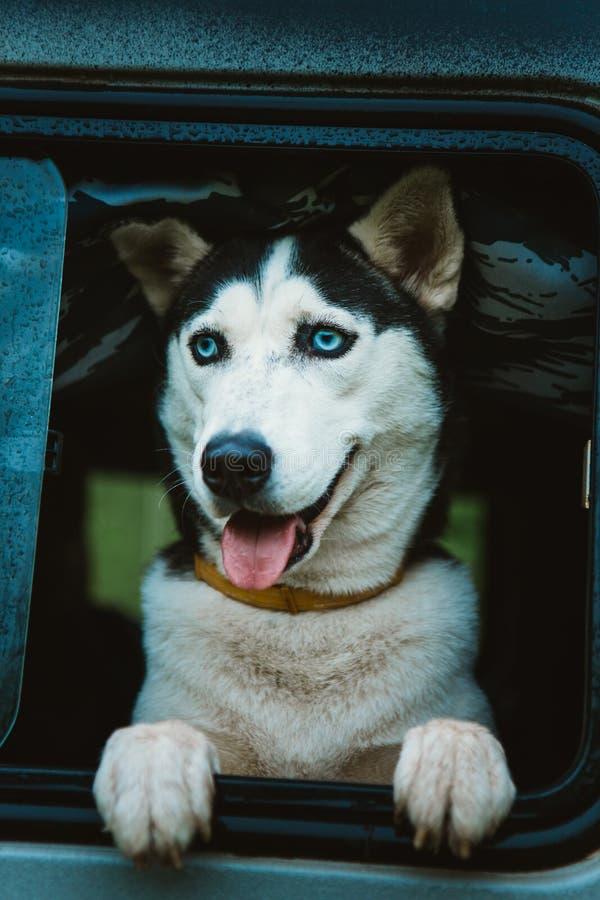 O cão de puxar trenós triste do cão olha fora da janela ao sentar-se no carro fotos de stock
