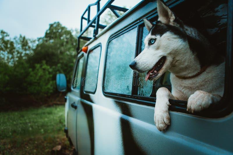 O cão de puxar trenós triste do cão olha fora da janela ao sentar-se no carro imagens de stock