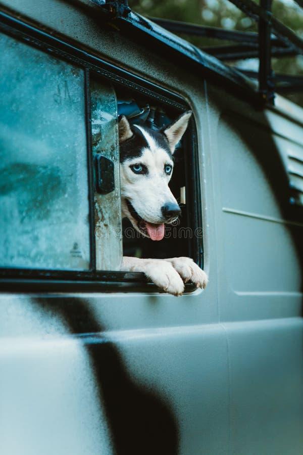 O cão de puxar trenós triste do cão olha fora da janela ao sentar-se no carro imagens de stock royalty free