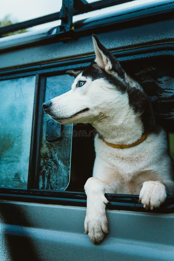 O cão de puxar trenós triste do cão olha fora da janela ao sentar-se no carro imagem de stock