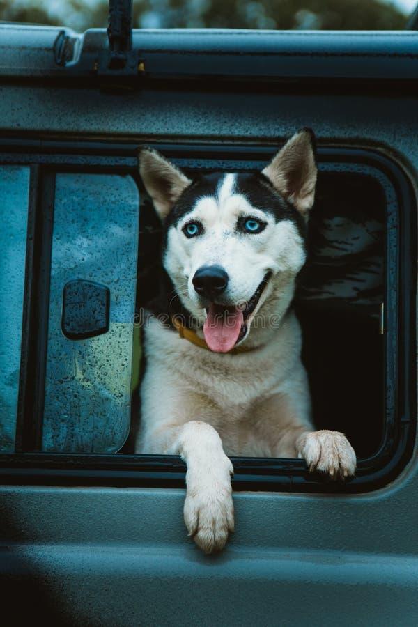 O cão de puxar trenós triste do cão olha fora da janela ao sentar-se no carro fotografia de stock