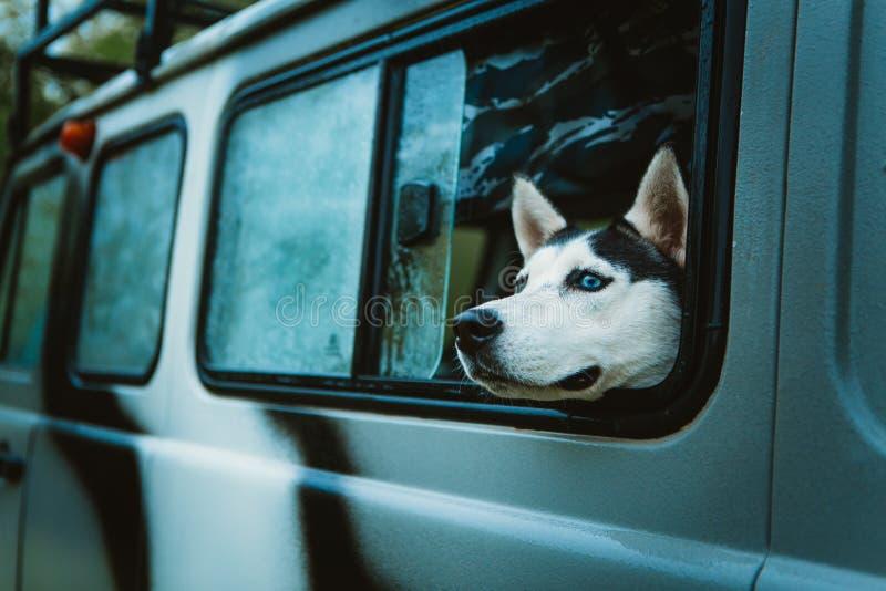 O cão de puxar trenós triste do cão olha fora da janela ao sentar-se no carro fotografia de stock royalty free