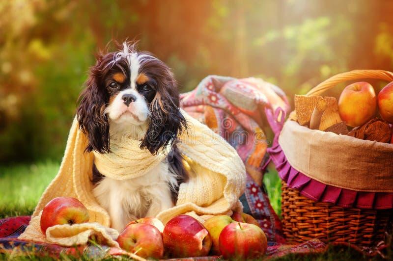 O cão descuidado engraçado do spaniel de rei Charles que senta-se no branco fez malha o lenço com as maçãs no jardim do outono imagens de stock royalty free
