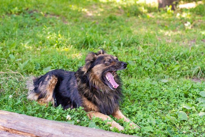 O cão desgrenhado está encontrando-se na grama verde em um dia ensolarado O cão está bocejando Foco macio foto de stock royalty free