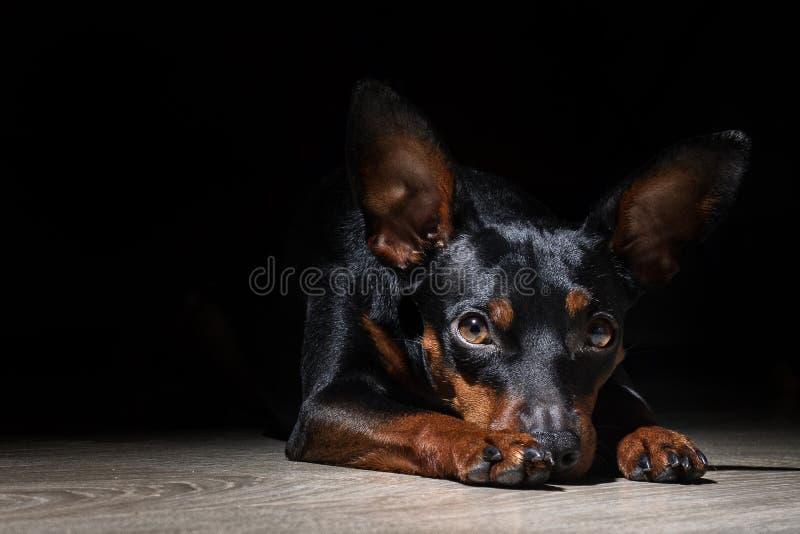O cão diminuto de Pincher encontra-se e espera-se foto de stock