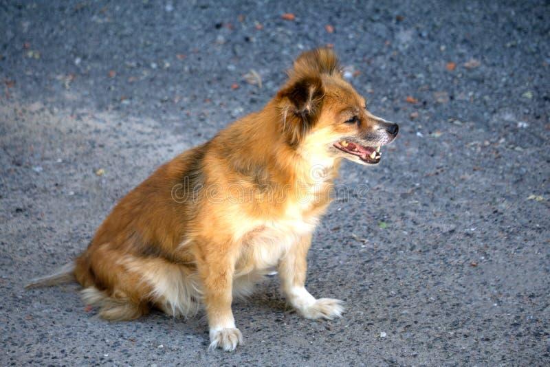 O cão disperso desabrigado abandonado vermelho está encontrando-se na rua Cão abandonado triste pequeno no passeio O cão disperso imagem de stock